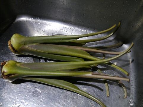 からどり芋の茎