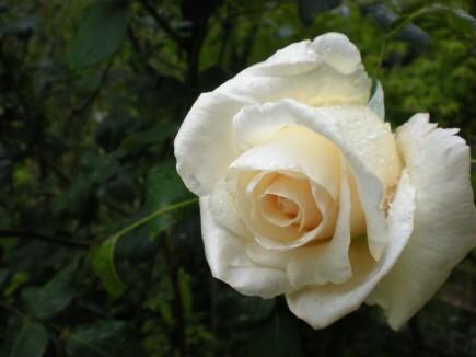 庭の白薔薇