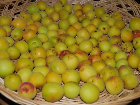 里梅の収穫