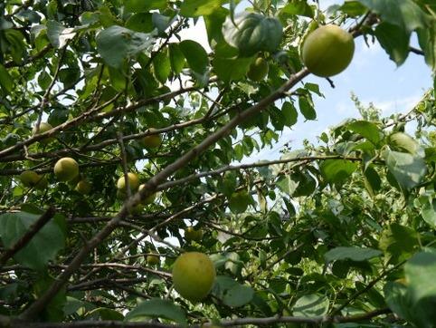 里の梅の実