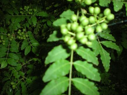 里山の山椒の木