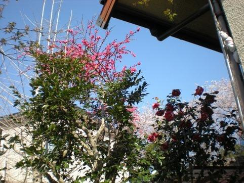 花桃が咲いた♪