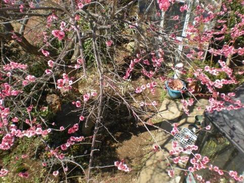 二階からの梅の花