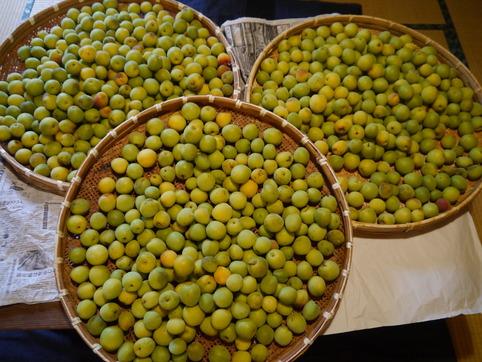 里梅の収穫1