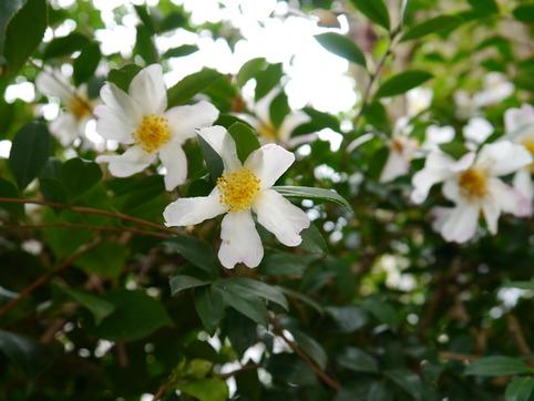 台所窓からの山茶花