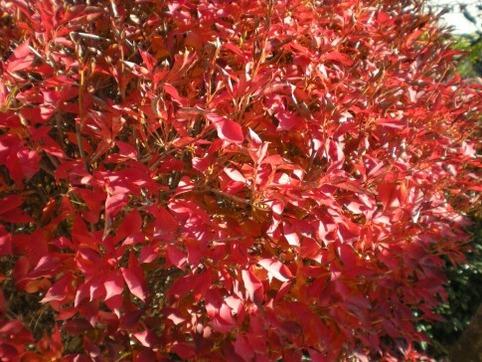 ドウダンの紅葉