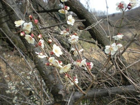 それでも咲いてる梅の花