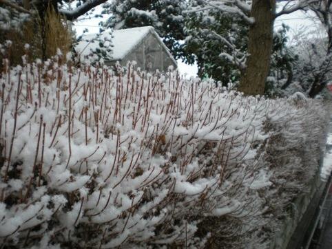 ドウダンの雪