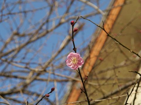 梅の花が咲く