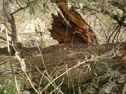 倒れた梅の古木