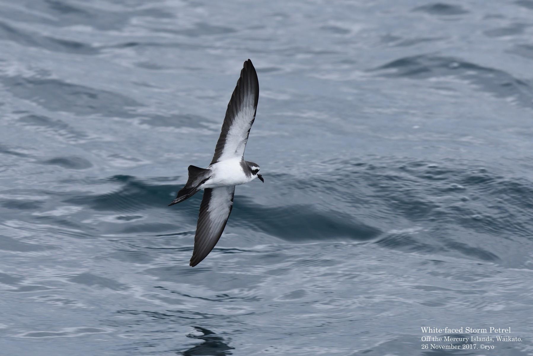 島と海 NZ Day5 Whitianga⑤ White-faced Storm Petrel/カオジロウミツバメ、Fairy Prion/ヒメクジラドリ などコメント
