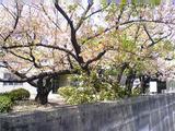 徳島家庭裁判所の桜(その4)。