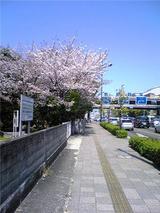 徳島家庭裁判所の桜(その5)。