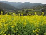 江田の菜の花(その3)。