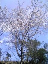 上桜城址の桜。