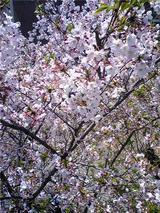 徳島家庭裁判所の桜(その2)。