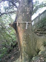 新羅神社の御神木。。