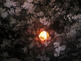 妙見山の夜桜(その2)。