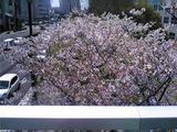 徳島家庭裁判所の桜(その1)。