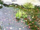 南湖の花菖蒲。