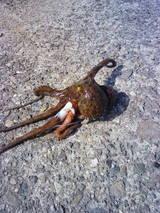 亀浦漁港内で取れたマダコ。