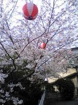 妙見山の桜(その3)。