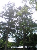 大宮神社境内の木々。