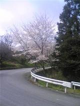チェリーロードの桜(その3)。