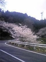 チェリーロードの桜(その2)。