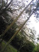 チェリーロードの桜(その6)。