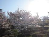 眉山公園の桜。