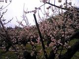 美郷の梅(その1)。