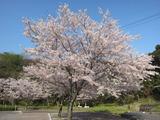 眉山公園の桜。。