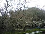 妙見山の桜(2009)。