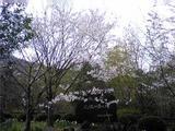 上桜公園の桜。