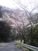 チェリーロードの桜(その5)。