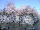 徳島中央公園の桜。