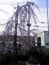 鳴門市立図書館の、しだれ桜。