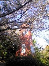 北島中央公園の桜。