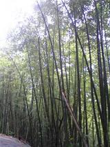 美郷の竹林。