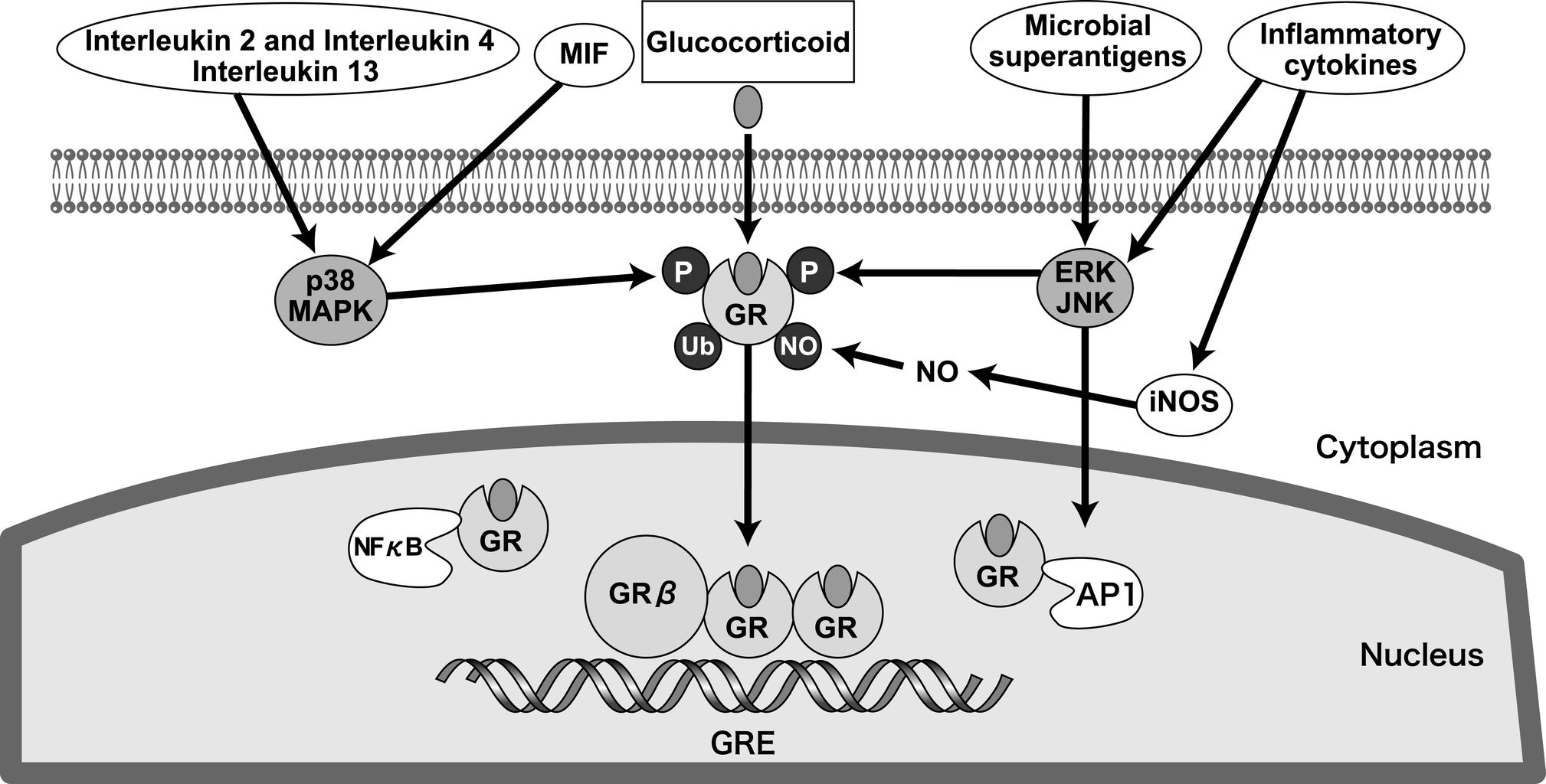 mechanism of steroid hormone action via gene activation