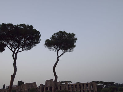 pine4