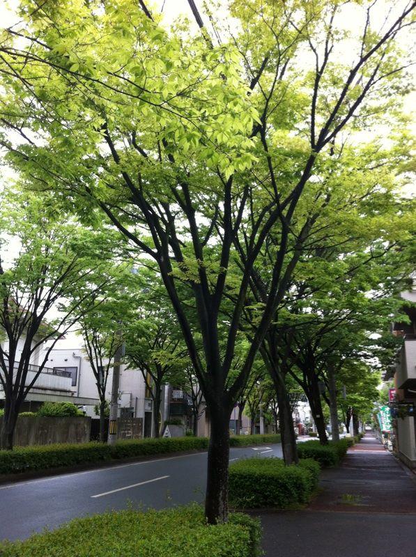 芦屋街路樹.jpg