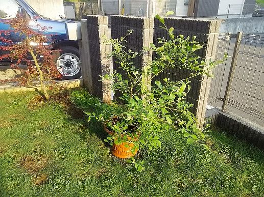 ブルーベリーの挿し木④