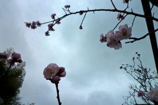 あんずの花1