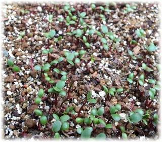 藍種の発芽と成長