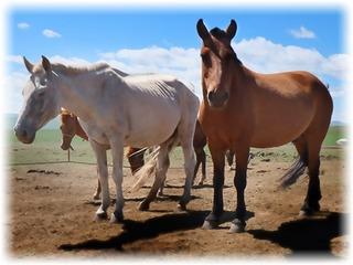 馬プラセンタエキス末(モンゴル)