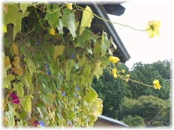 糸瓜もまだまだ咲き続けている