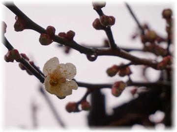 白梅が咲き始めました♪