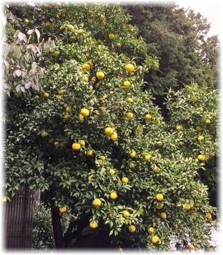 今年は柚子がタワワに実ってる!